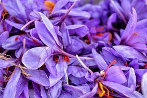 Saffron flowers up close. Image By; Qazi Wasif