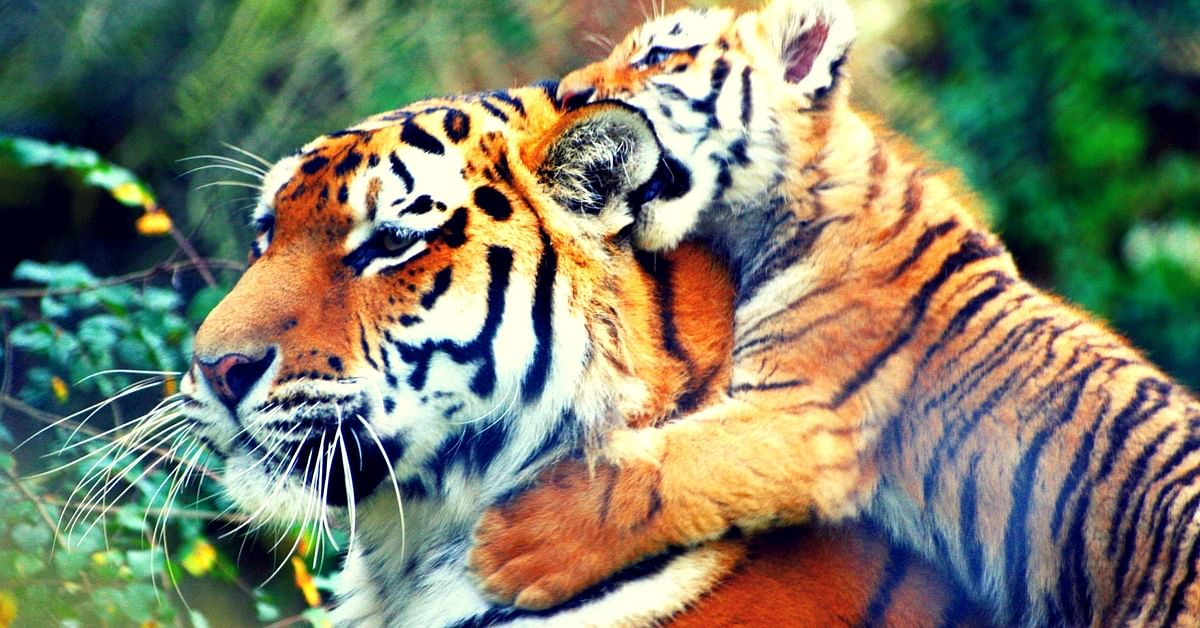 Home to Over 60 Tigers, Mudumalai Tiger Reserve All Set to Become Twice Its Size!