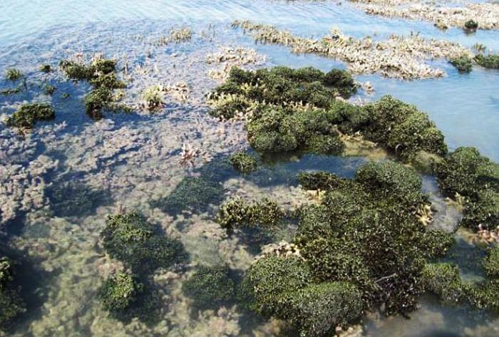 Seaweeds - Rameshwaram coast