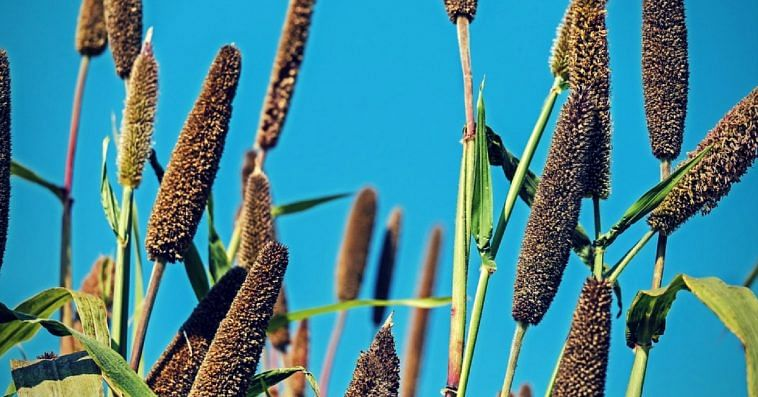 Millets. Picture Courtesy: Pixabay.