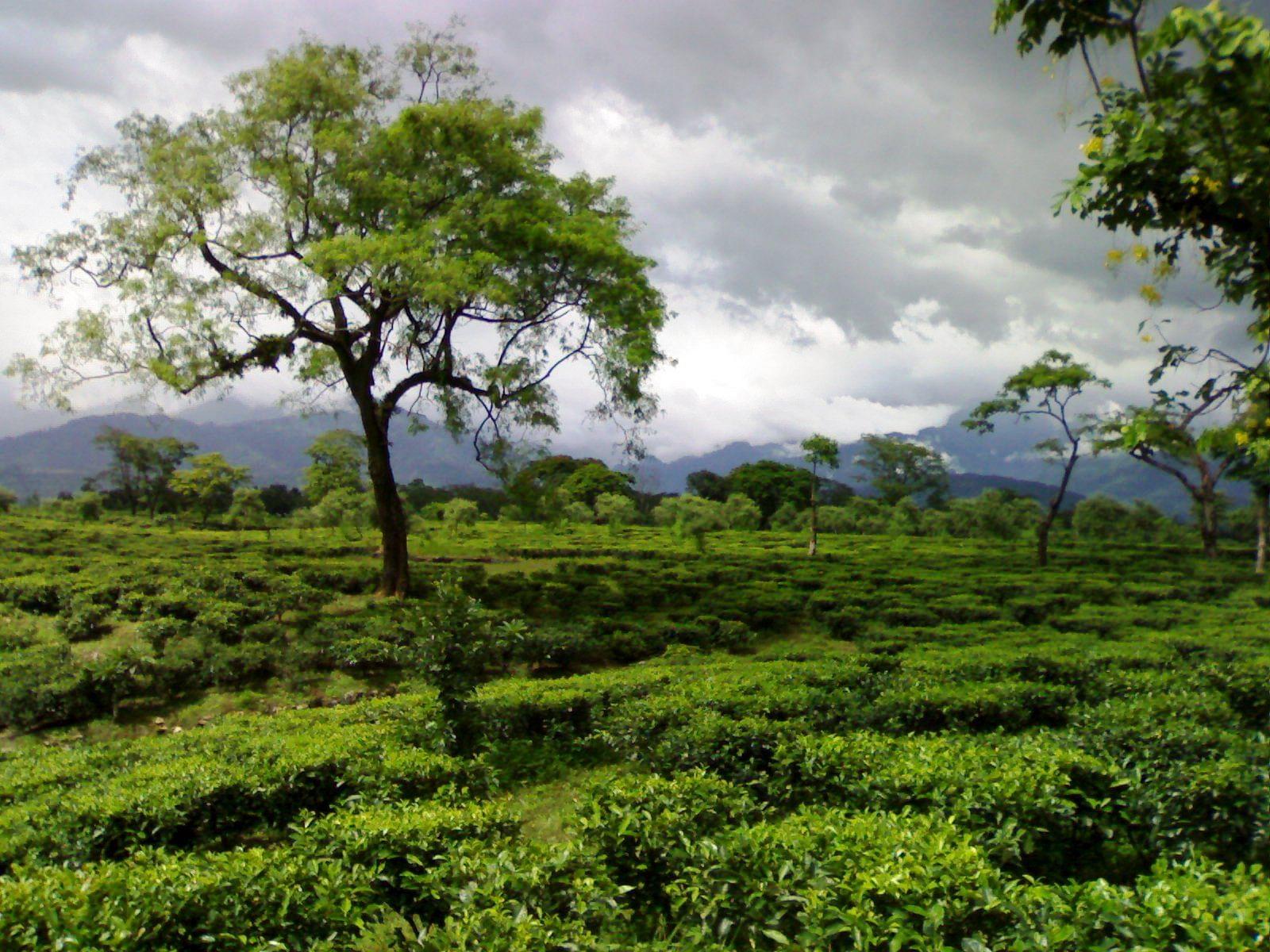 Tea garden in the Dooars. Picture Courtesy: Wikipedia.