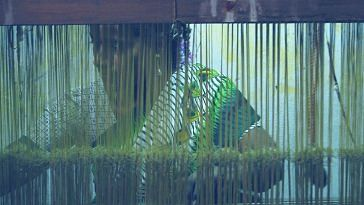 Weaver in India. Picture Courtesy: Wikimedia Commons.