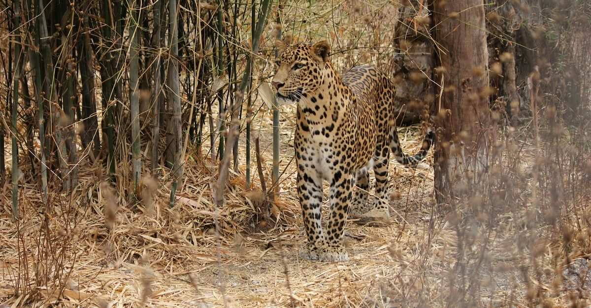 Video: Here's How This Team Helped Reunite a Mother Leopard With Her 3 Cubs