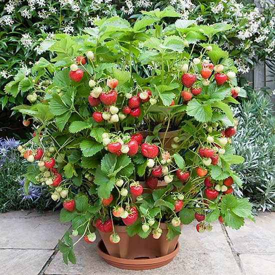 Strawberry In Container Growing: Grow Your Own Organic Strawberries At Home With This