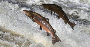 Leave the upstream swim to the salmon.Image Courtesy: Geograph.