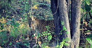 Leopards are very shy, secretive, and will prefer avoiding humans.Image Courtesy: Wikimedia Commons.