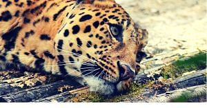 Let us help the gorgeous leopard thrive. Image Courtesy:Pixabay