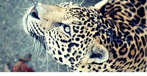 Let us help the gorgeous leopard thrive.Image Courtesy: Pixabay