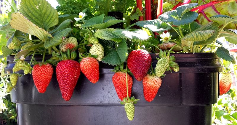 Grow Your Own Organic Strawberries At Home With This Simple