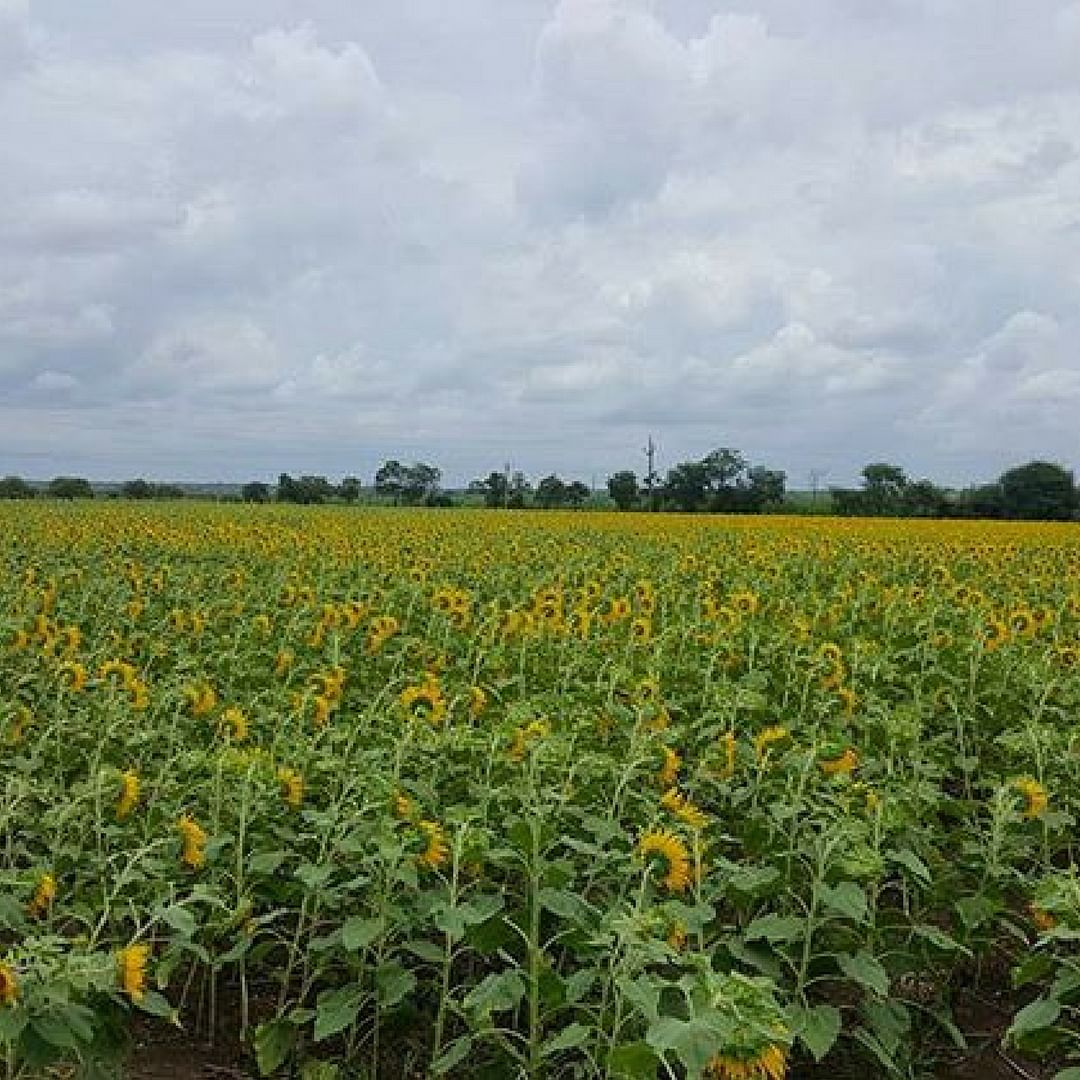 Rows and rows of sunflowers growing somewhere in Maharashtra, India. Picture Courtesy: Instagram.