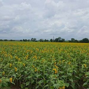 Rows and rows of sunflowers growing somewhere in Maharashtra.Picture Courtesy: Instagram.