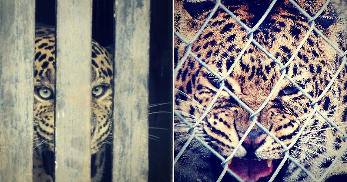Trapping and caging a wild leopard has an immensely adverse effect on its psyche.Representative image only.Image Courtesy: Pixabay.