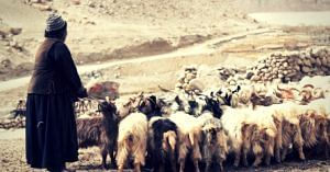 Livestock rearing (Source: Looms of Ladakh)