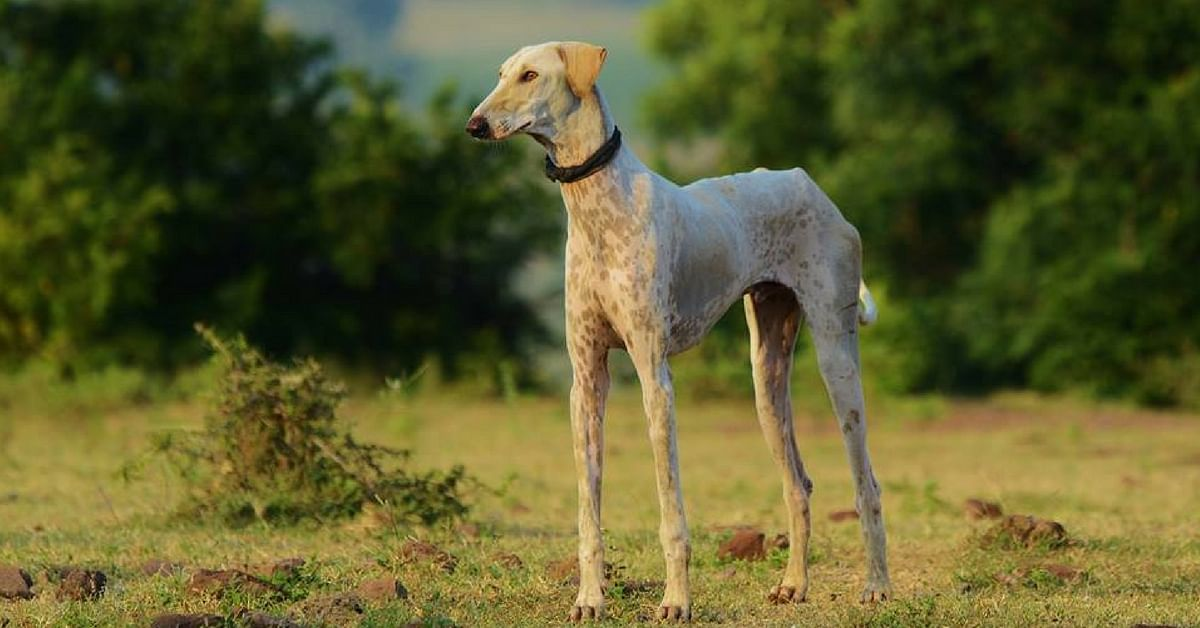 Video: Karnataka's Mudhol Dogs are the First Indian Breeds in Army's K-9 unit!