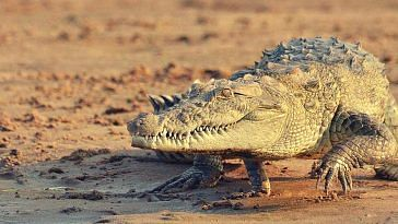 crocodile-odisha-boy-uncle