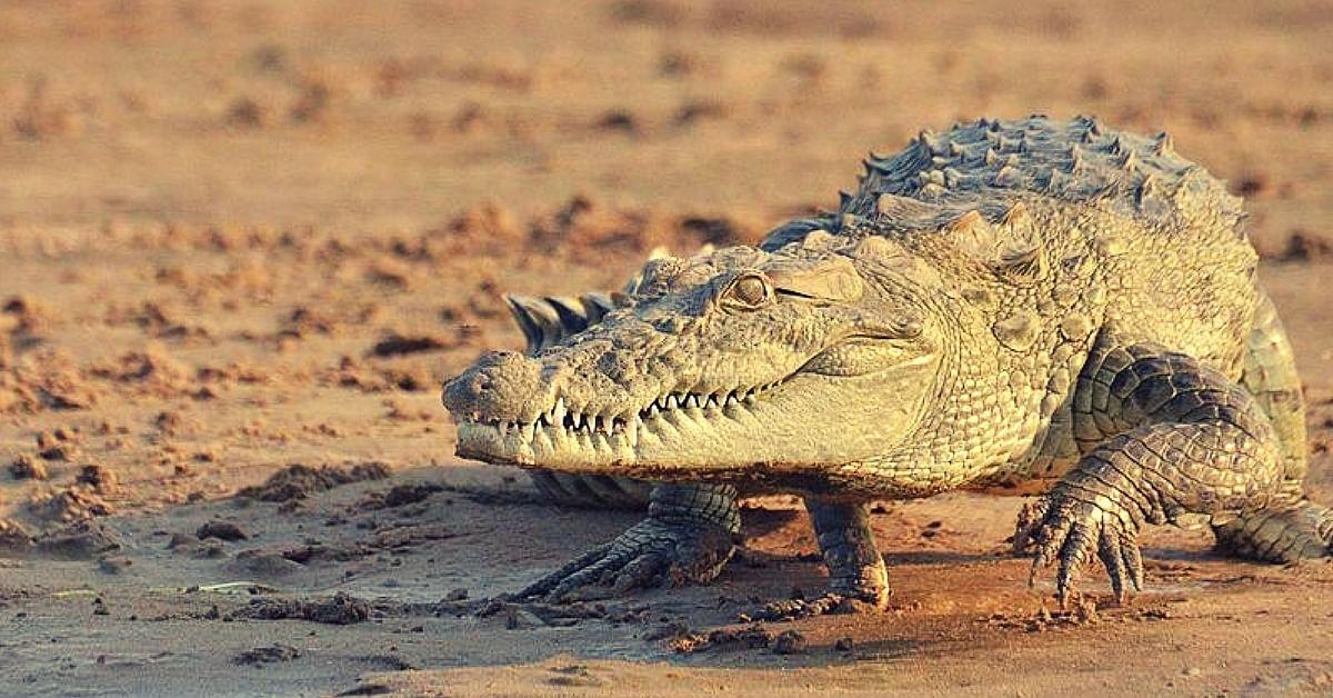crocodile-odisha-boy-uncle
