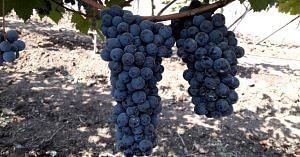 new hybrid variety grape