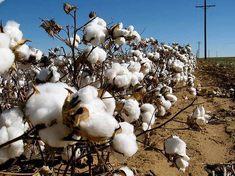 Cotton field. For representational purposes. (Source: Wikimedia Commons)