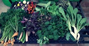 All the vegetables are grown naturally, at Indra Terrace Gardens. Image Courtesy: Indra Terrace Gardens.