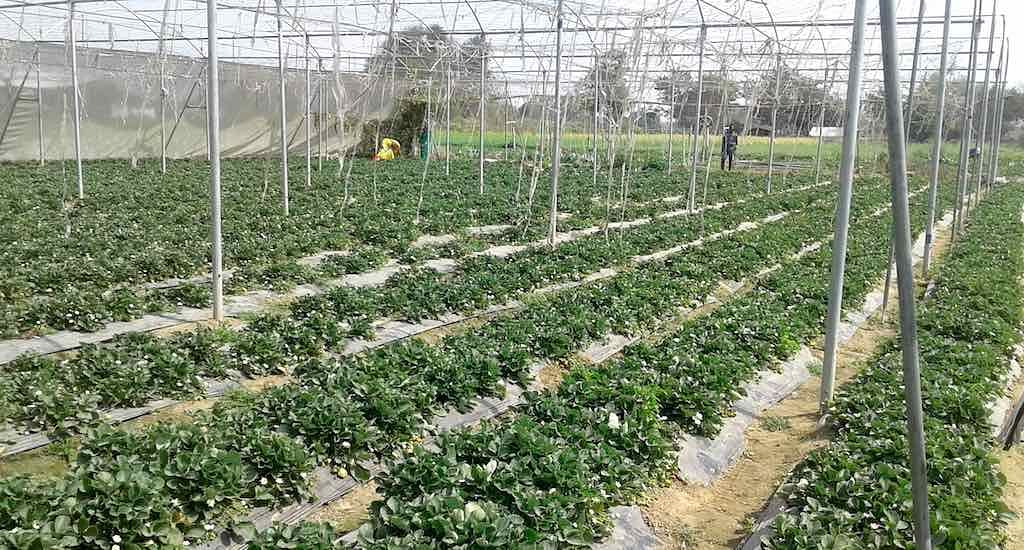 Strawberry cultivation in a drought-prone pocket of Bihar has boosted the local economy. (Photo by Mohd Imran Khan)