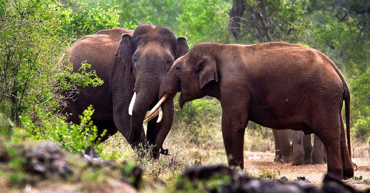 Video: These Kerala Elephants Drink Here Everyday– The Reason May Shock You