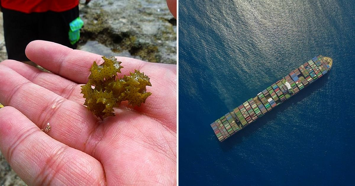Thanks to Indian Scientists, This Anti-Corrosive Seaweed Will Save The Seas!