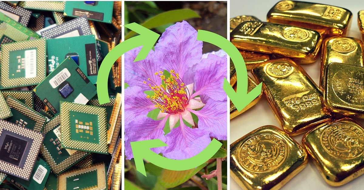 E-waste can be turned into gold using this plants leaves!