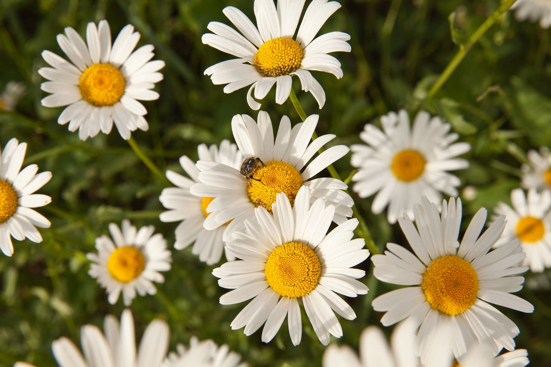 Flower power in your food 10 edible blooms that can electrify your dish 5 chamomile izmirmasajfo