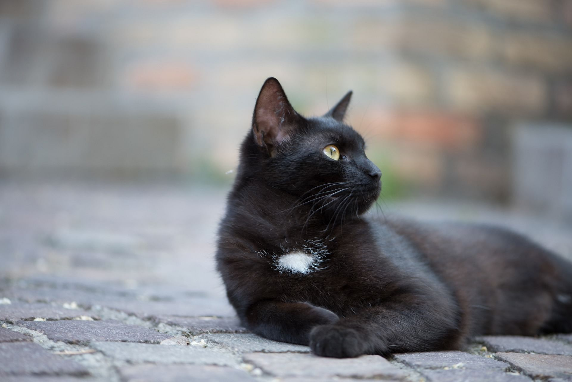 black cat tamil nadu village rescue