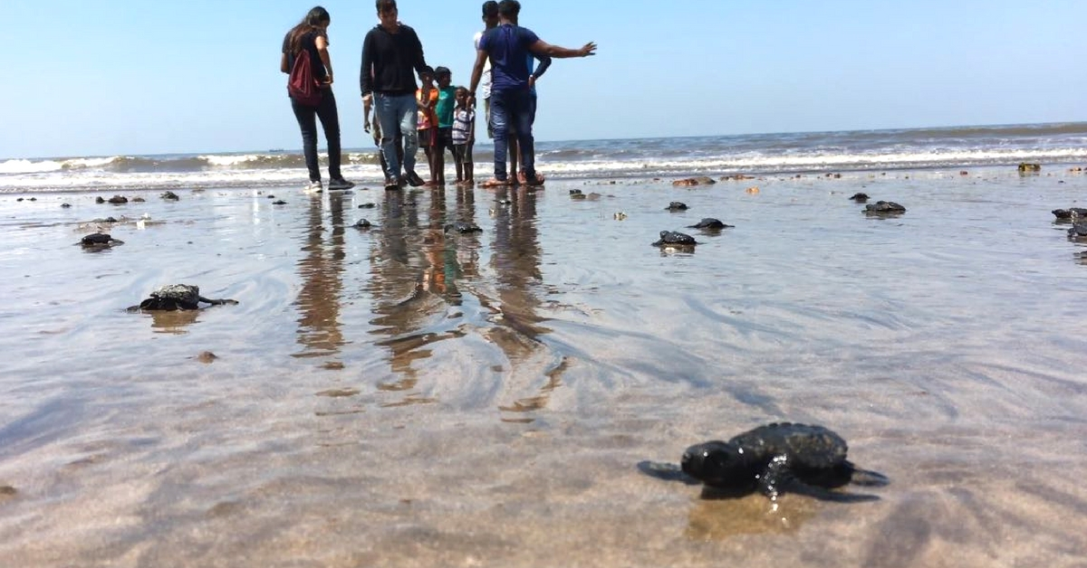 Thanks to These Heroes, Mumbai Beach Welcomes Olive Ridley Turtles After 20 Years