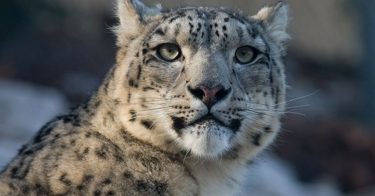 Video: Captured in Spiti, What Happens to This Snow Leopard Will Warm Your Heart!