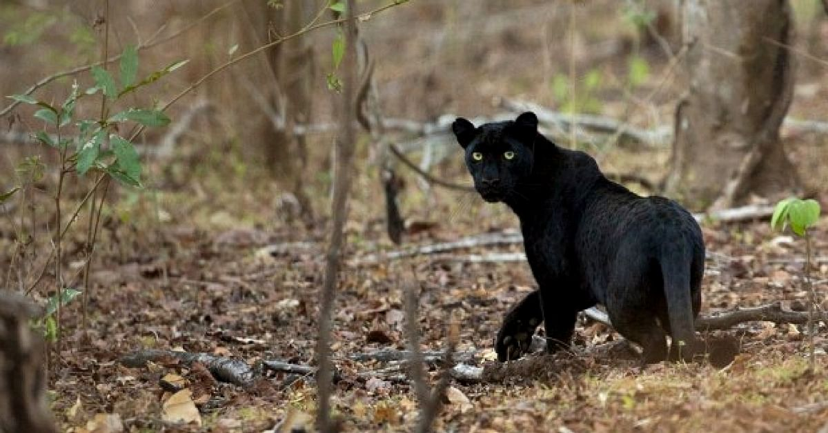 Special Sighting: Panther Spotted in Chhattisgarh After 24 ... - photo#40
