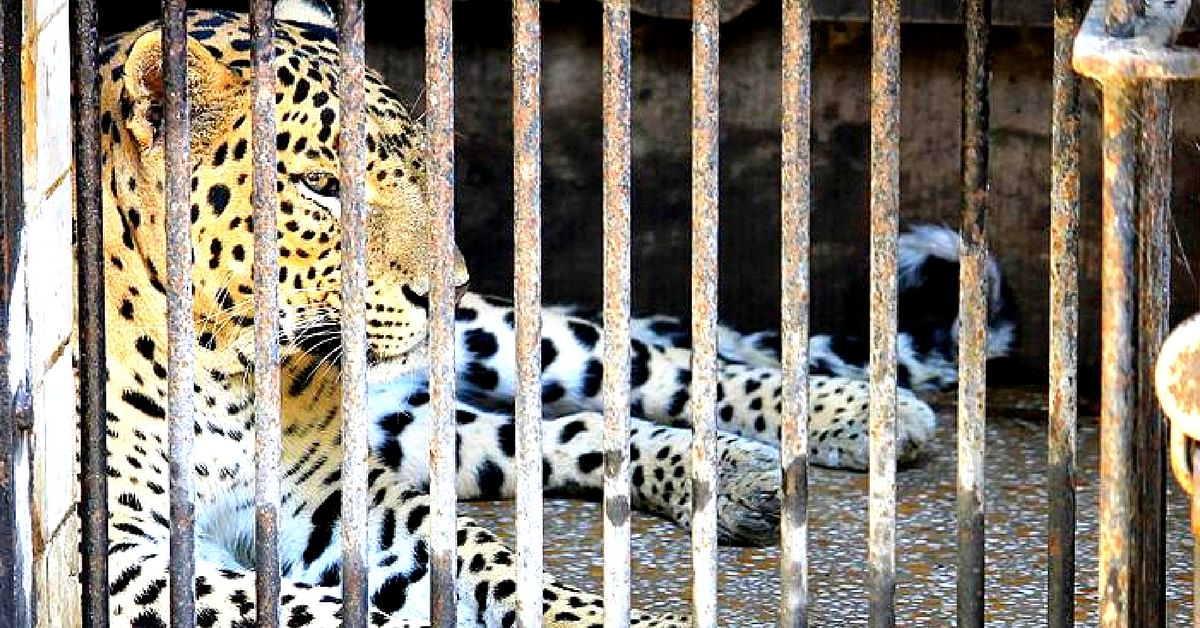 The leopard was found unconscious by forest officials, who took it under their care immediately. Representative image only. Image Courtesy: Wikimedia Commons.