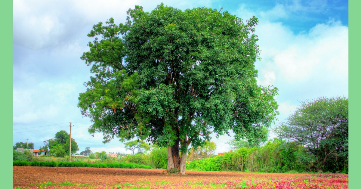 Dried Leaves of These 3 Indian Trees Can Amplify Grain Yield of Rice!