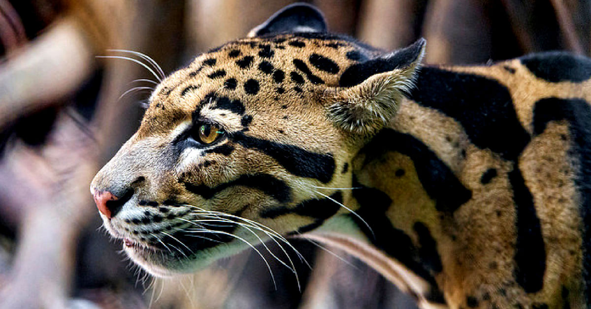Among the animals in Arunachal Pradesh, the Clouded Leopard is the most elusive. Representative image only. Image Courtesy: Tambako the Jaguar (Flickr)
