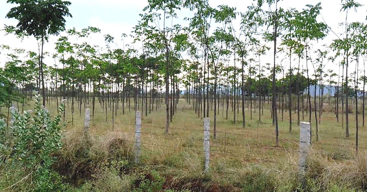 Malabar tree plantation (Source: Youtube)