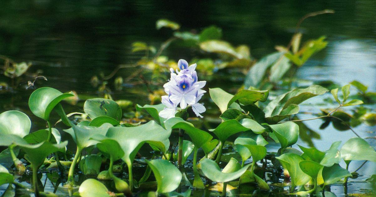 water hyacinth organic manure