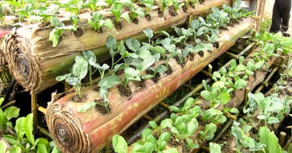 Biodegradable & Moisture-Rich, Banana Stems Are Great For Growing Veggies at Home!