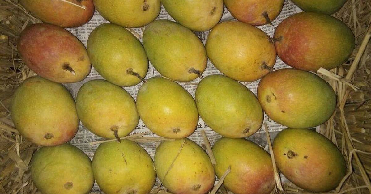 Dig into organically grown, fresh Alphonso mangoes, courtesy IRCTC. Image Credit: Ministry of Railways.