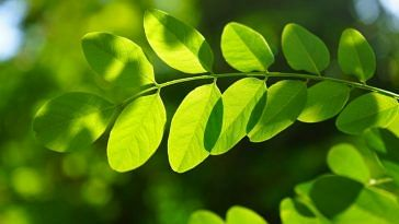 Moringa leaves could help in purifying water