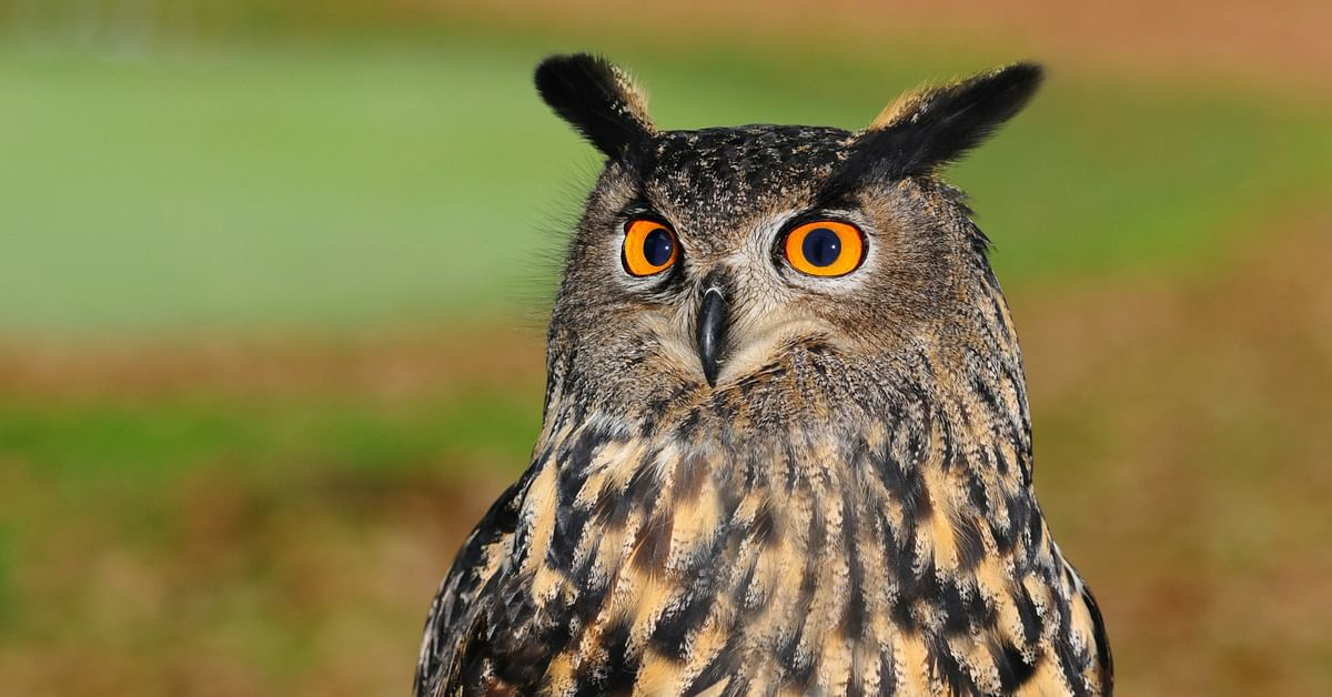 The Indian Eagle owl. Source: Pexels