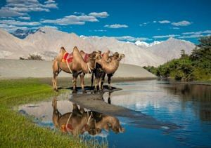 Bactrian Camel in the picturesque Nubra Valley. (Source: Facebook/Visit Ladakh)