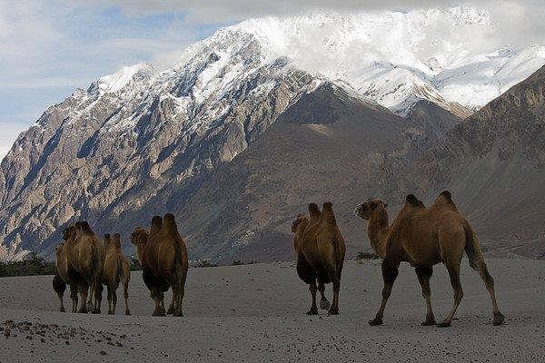 Bactrian Camel. (Source: Facebook/Nubra Valley)