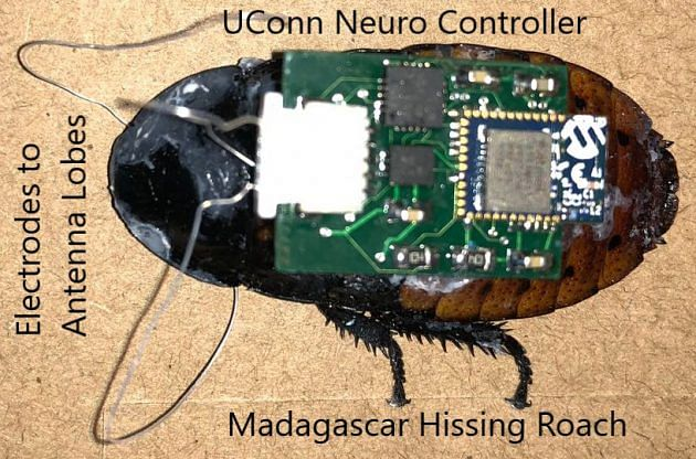 cockroach with implanted neuro controller
