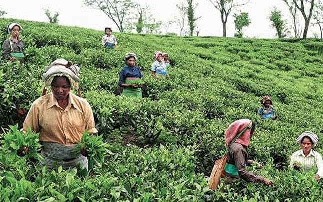 Tea Garden workers in Alipurduar district, West Bengal. (Source: Facebook/Vikrai Web)