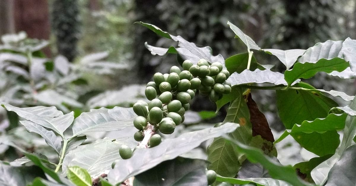 Grown by Tribals, Coffee from Andhra's Araku Valley Wins Gold In Paris' Prix Epicures!