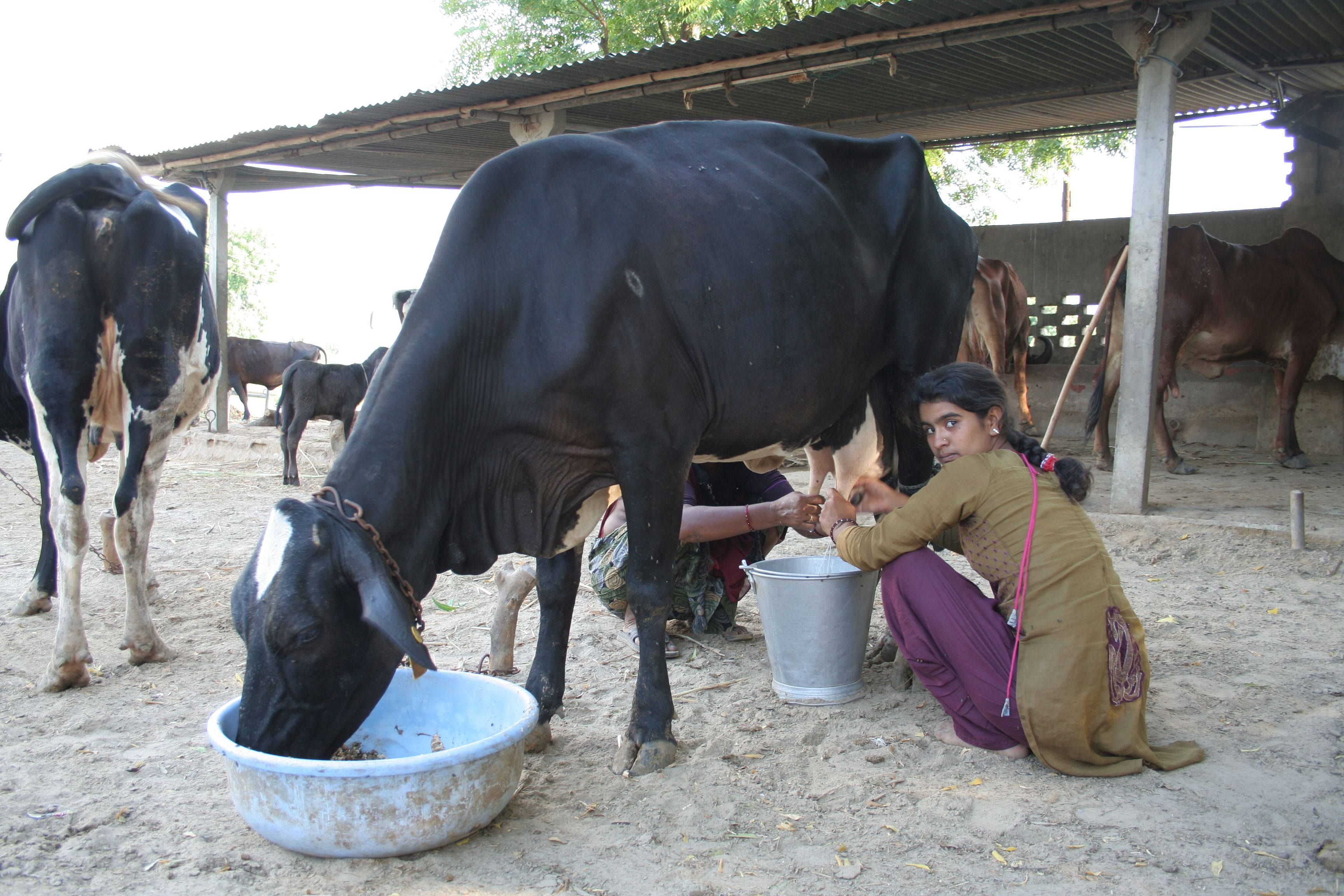 Cow milking. For representational purposes only. (Source: Wikimedia Commons)