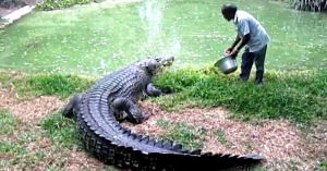 Feeding a crocodile is dangerous, however, the love for the reptiles keeps the 2 men motivated.