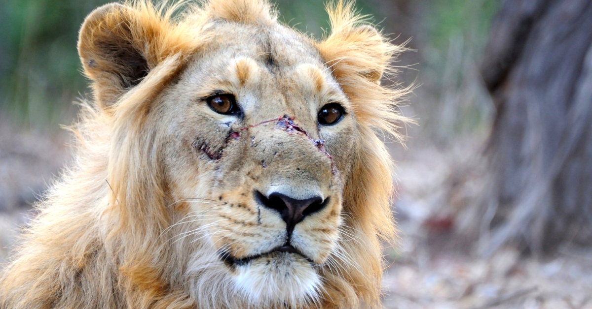 The majestic Asiatic Lion in Gir, is facing a crisis, and ordinary citizens have stepped in to help. Image Credit: K Bhargava, Wikipedia