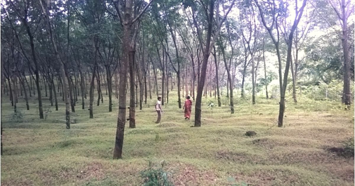 Rubber Trees That Have Dual Purpose? Here's Why This Scientific Development is Good News